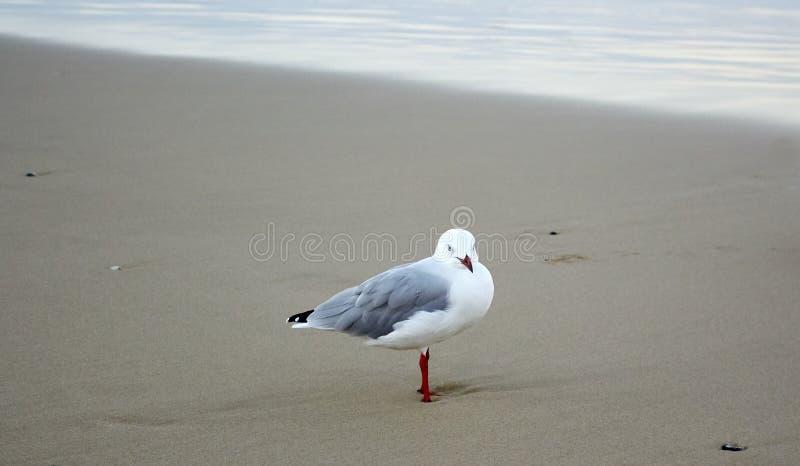 Seagull på en härlig guld- strand på en molnig dag arkivbilder