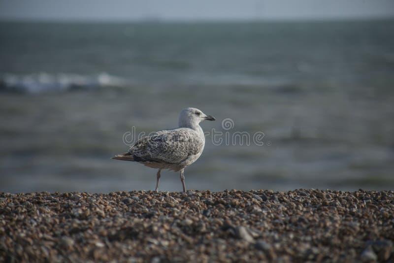 Seagull på en strand - Brighton, England, UK arkivbild