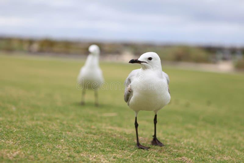 Seagull på gräsplan arkivbild