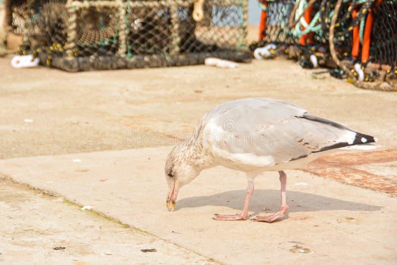 Seagull på hamnen fotografering för bildbyråer