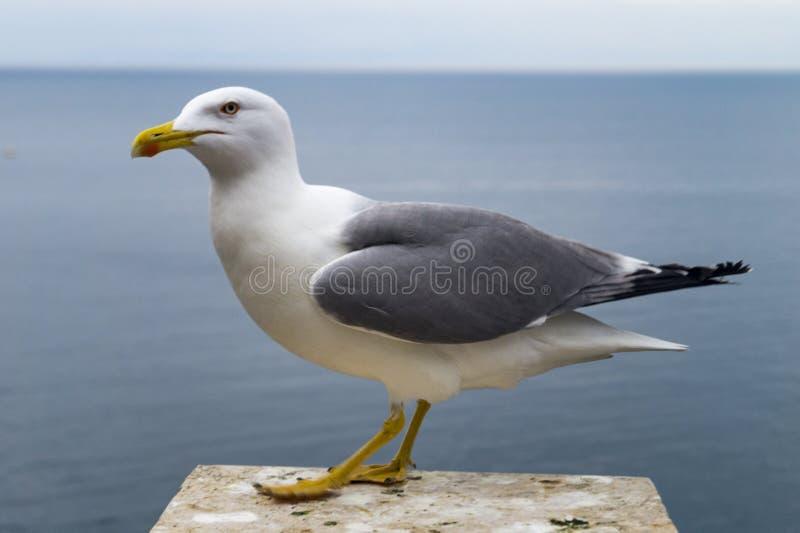 Seagull på havet royaltyfri foto
