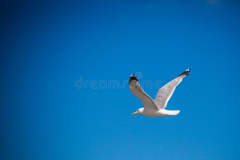 Seagull på himmel royaltyfri foto