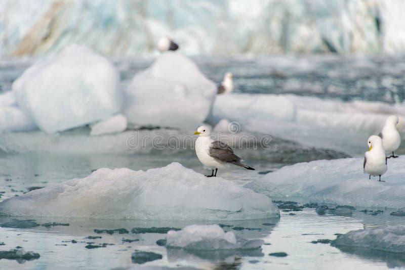 Seagull på isen i det Svalbard slutet upp arkivfoto