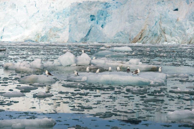 Seagull på isen i det Svalbard slutet upp fotografering för bildbyråer