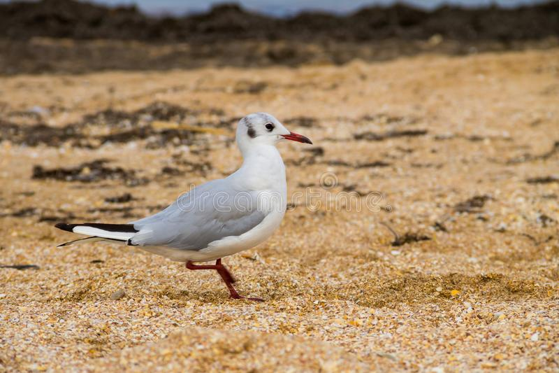 Seagull på sandstranden royaltyfri foto