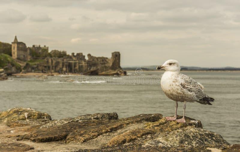 Seagull på St Andrews Castle arkivfoto