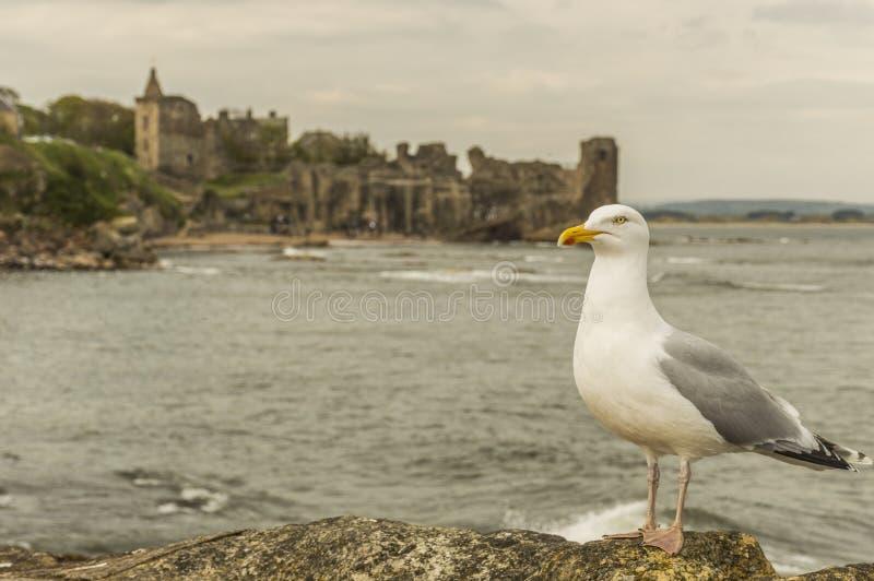 Seagull på St Andrews Castle royaltyfri bild