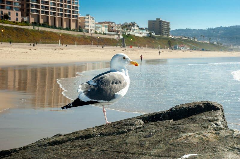 Seagull på strand royaltyfri bild