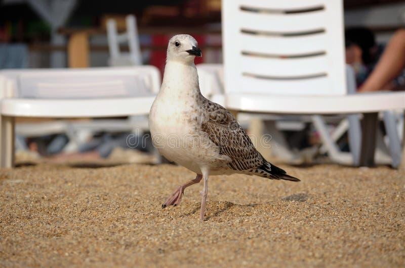 Seagull på stranden royaltyfri bild