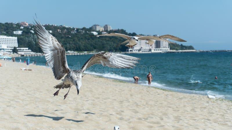 Seagull p? stranden, Black Sea fotografering för bildbyråer
