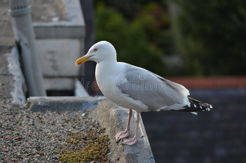 Seagull på taket arkivfoto