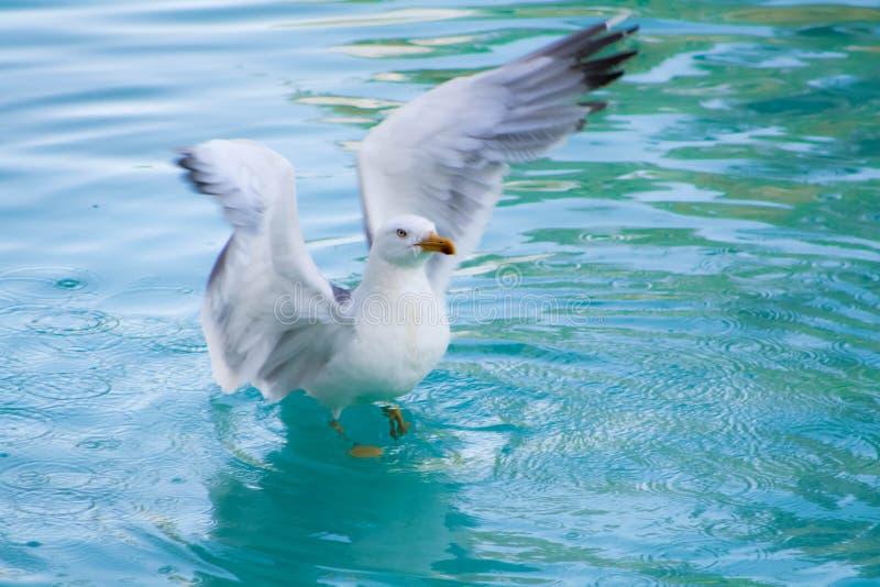 Seagull på vattnet som lyfter flyget royaltyfri fotografi