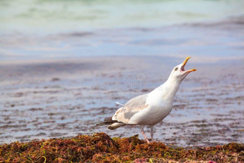Seagull płacz zdjęcia royalty free
