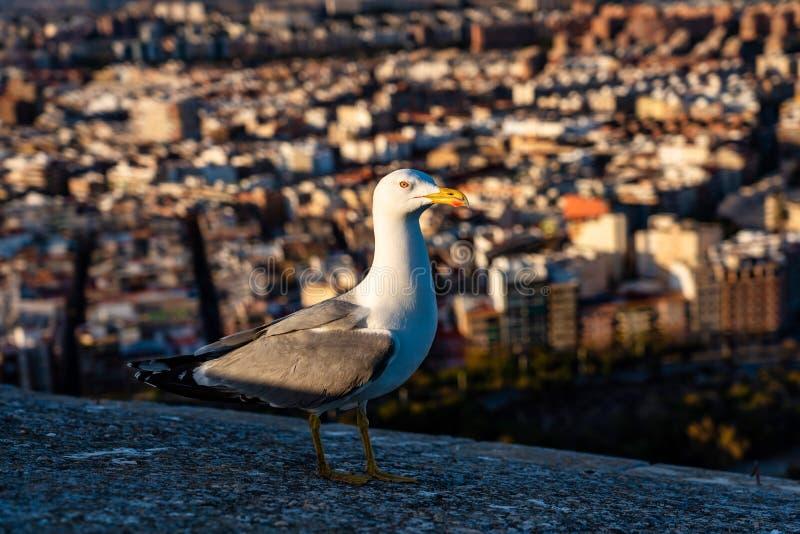 Seagull p? v?ggarna av Santa Barbara Castle i Alicante, Spanien royaltyfria bilder