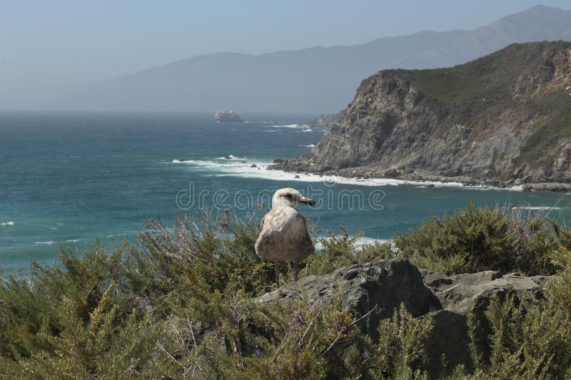 Seagull on the Pacific Coast Highway stock photo