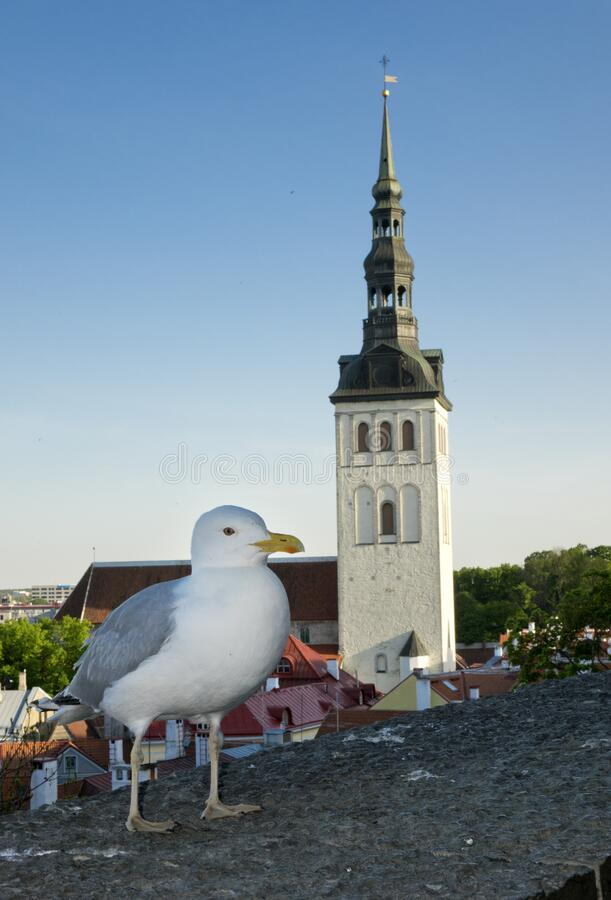 Seagull on a parapet of observation deck and the Town hall tower on a background. Tallinn. Estonia.  royalty free stock photography