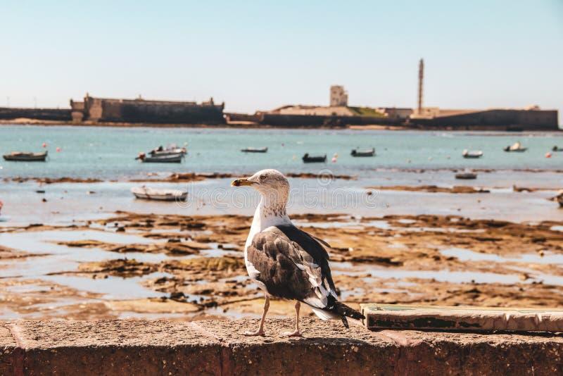 Seagull patrzeje mężczyzna w Cadiz w Andalusia, Hiszpania zdjęcia stock