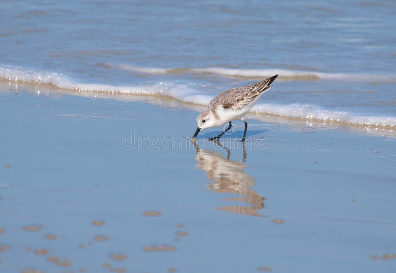 Seagull. A seagull pecking in the sand at Myrtle Beach in South Carolina stock photography