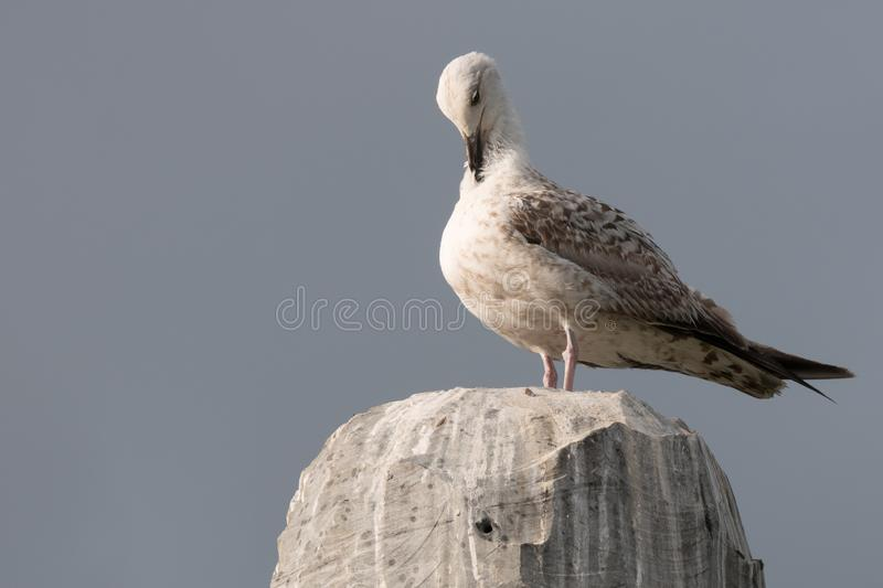 Seagull perched on granite rock, preening feathers. stock photos