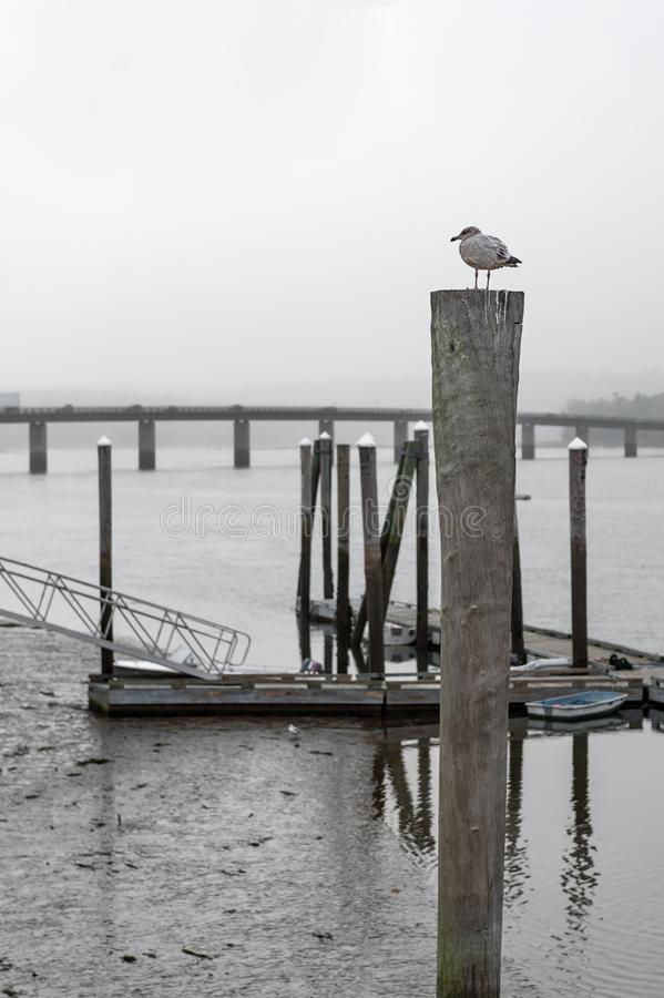 Seagull Perched on River Piling obrazy royalty free