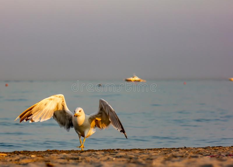 Seagull photographed near sunset with the sun striking it with its wings spread because it has just landed royalty free stock images