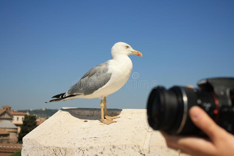 Seagull and a photographer in Rome, Italy. Seagull photographer rome italy hobbies holiday european europeuropean camera funny activities sky summer bird royalty free stock photography