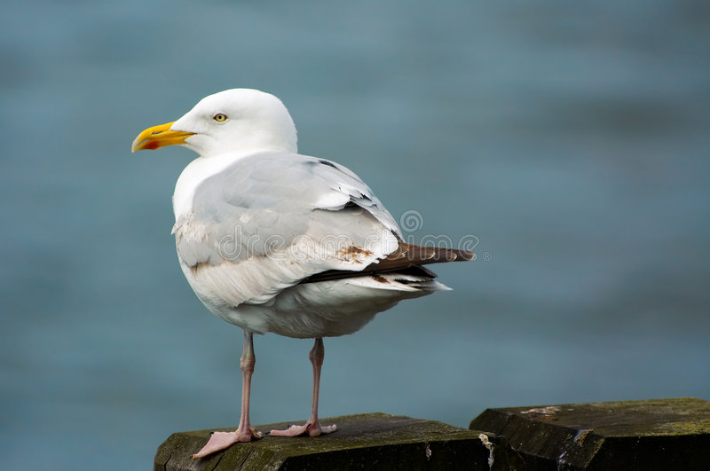 Seagull on the pier. A seagull on a pier royalty free stock image