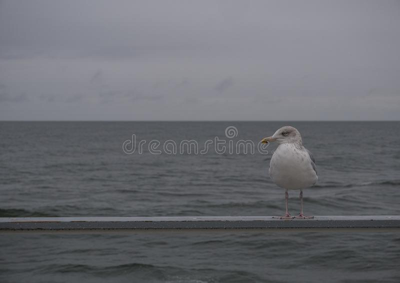 Seagull on the pier against sea royalty free stock image