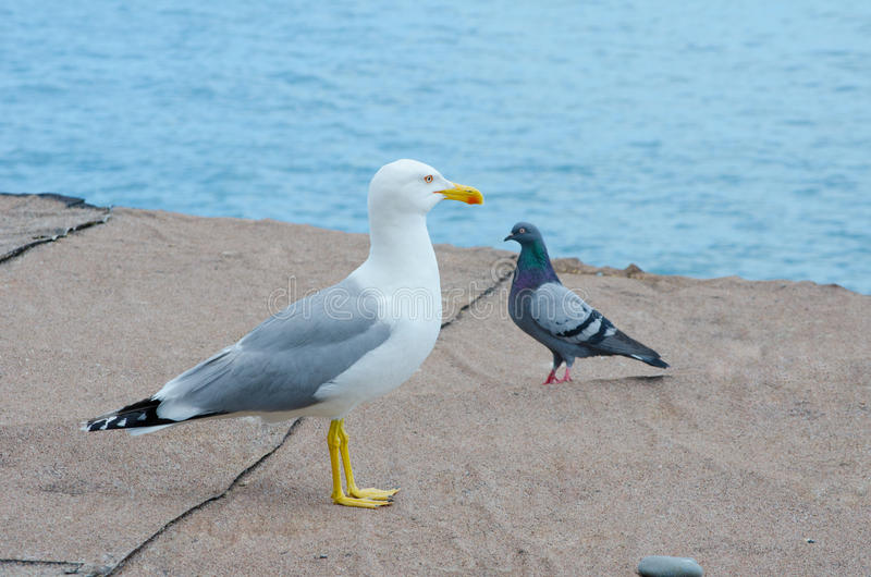 Seagull and a pigeon on a beach. (with focus on the seagull stock image