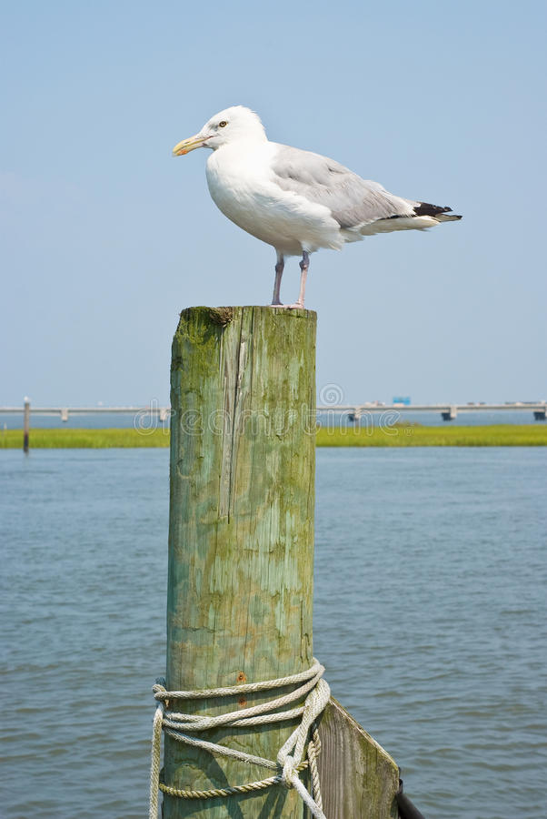 Download Seagull on a Piling stock photo. Image of cord, outdoor - 10885272