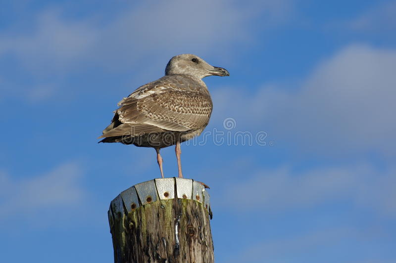 Seagull. Piling bird sea animal nature ocean wildlife scavengers puget sound stock photo