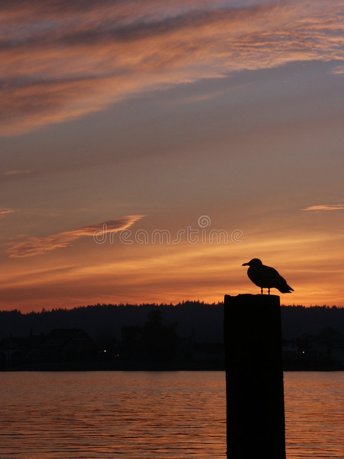 Seagull on piling at sunset at Puget Sound, Tacoma, WA stock photo