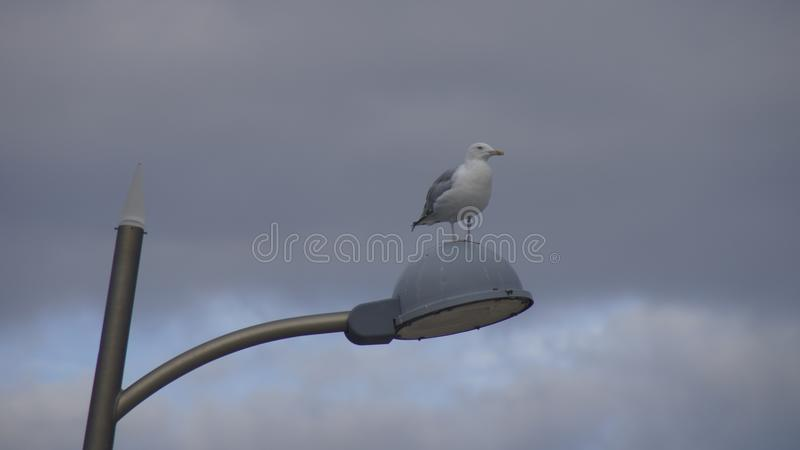 Seagull Pl. Seagull very friendly birds, a bird on the Polish Baltic stock photo