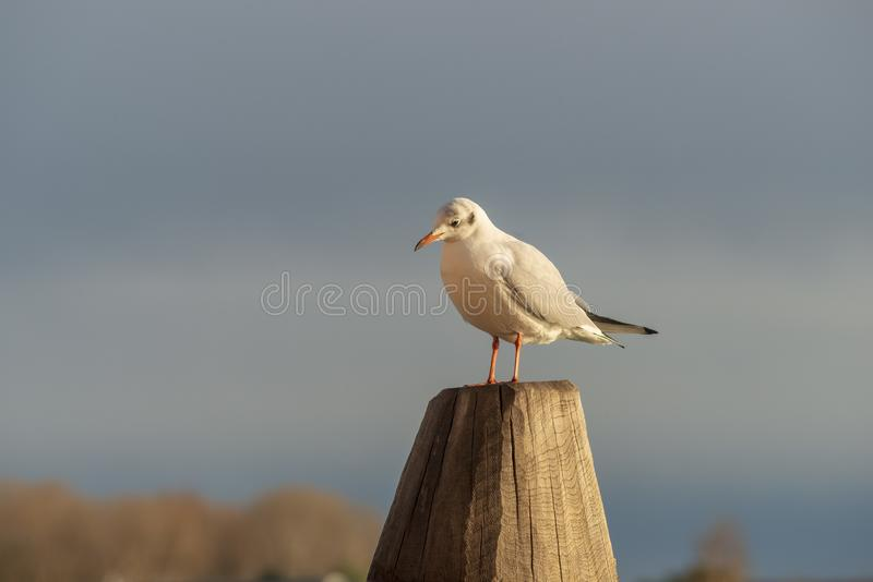 Seagull on pole. Seagull sitting on big wooden pole in Venice, Italy royalty free stock image