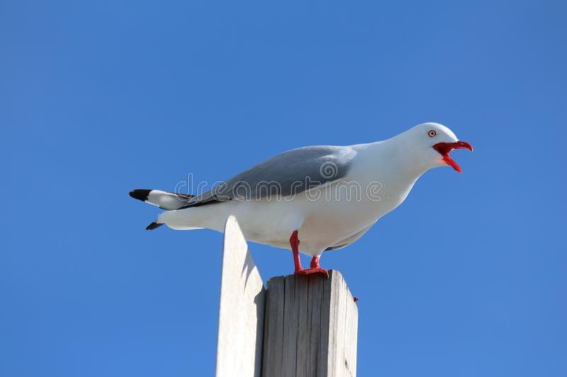 Seagull on Pole. The seagull standing on the pole gives it a vantage point to see fish in the water and insects in the air royalty free stock image
