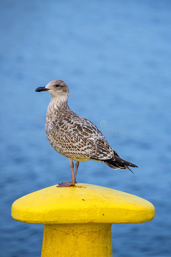 Download Seagull On A Pollard Stock Photo - Image: 44869274