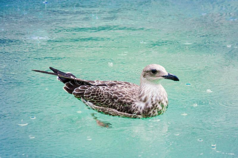 Seagull in the pool stock image