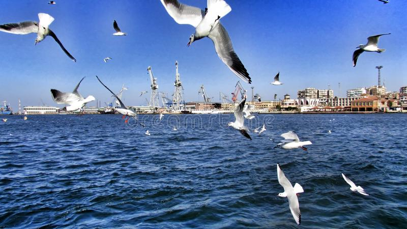 Seagull. In Port Said Suez Channel stock photography