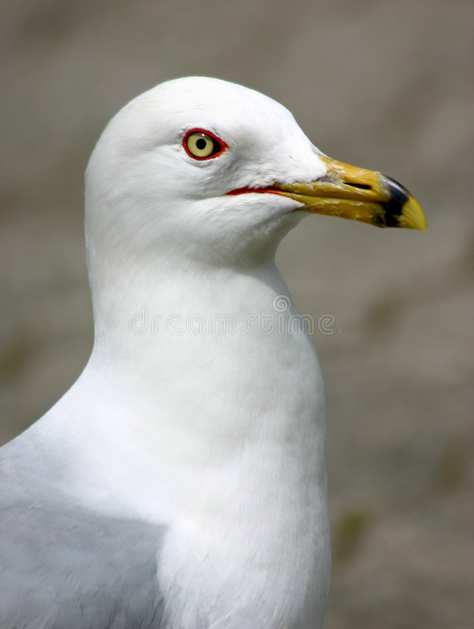 Free Seagull Portrait Stock Photography - 129482