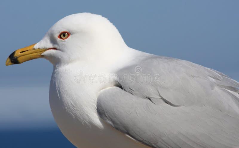 Download Seagull Portrait stock photo. Image of birdwatching, birdwatch - 13474052