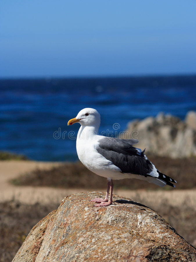 Free Seagull Portrait Stock Images - 367864