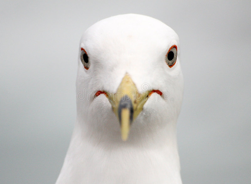 Seagull portrait. Close-up of a seagull head