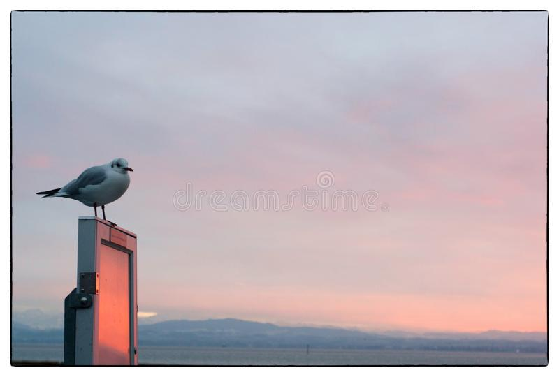 Seagull portrait on the advertising panel at sunset. Close up view of white bird seagull sitting at the sunset royalty free stock image