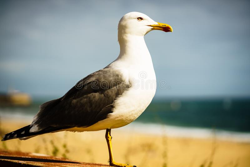 Seagull portrait on the shores of Portimao, Portugal. royalty free stock photo