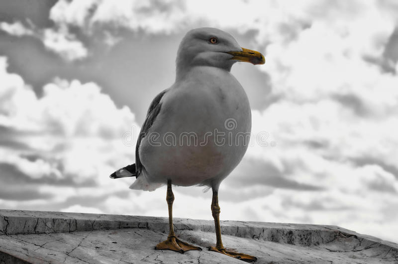 Download Seagull stock photo. Image of seagull, mammal, scavenger - 94691046
