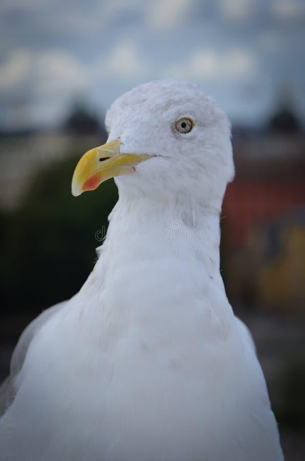 Seagull portret zdjęcia stock