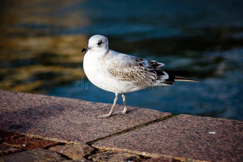 Seagull portret przeciw dennemu brzeg Zamyka w górę widoku biały ptasi seagull obsiadanie bulwarem fotografia stock