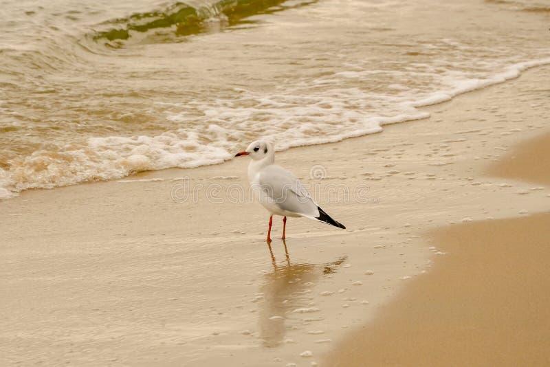 Seagull portret przeciw dennemu brzeg Zamyka w g?r? widoku bia?y ptasi seagull obsiadanie pla?? zdjęcia royalty free