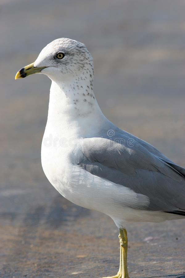 Seagull posing stock photography