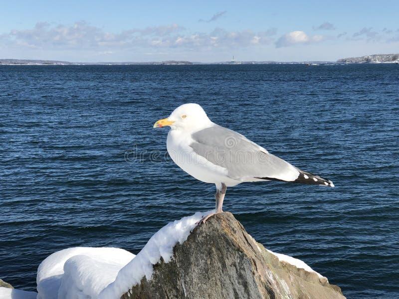 Seagull pozycja na śniegu zakrywał skałę zdjęcia royalty free